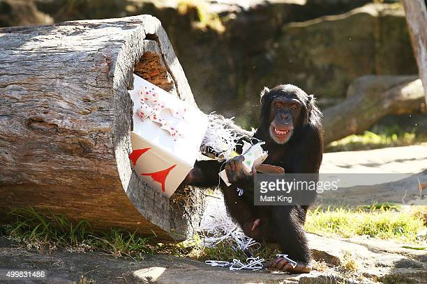 Chimpanzee plays at Taronga Zoo on December 4 2015 in Sydney Australia Taronga's animals were given special Christmasthemed enrichment treats and...