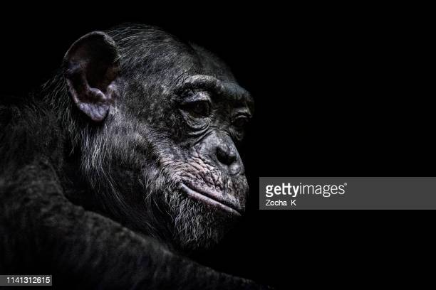 chimpanzee portrait - threatened species stock pictures, royalty-free photos & images