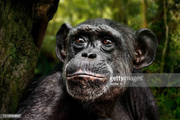 chimpanzee portrait - cameroon stock pictures, royalty-free photos & images
