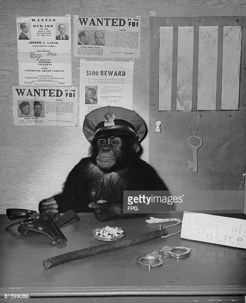 A chimpanzee poses as a chief of police 1946