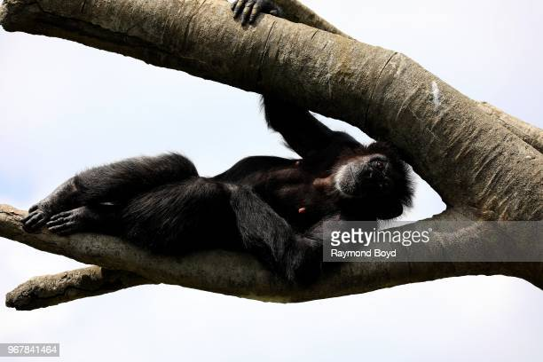 Chimpanzee 'poses for photos' while relaxing in a tree at the Detroit Zoo in Royal Oak Michigan on May 26 2018