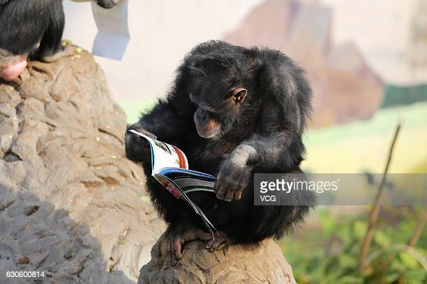 A chimpanzee reads a magazine at a wild zoo on December 27 2016 in Chongqing China Chimpanzees were interested in the books about Internet knowledge...