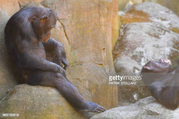 A chimpanzee relaxes at the Zoo in Bremerhaven nothern Germany on June 7 2018