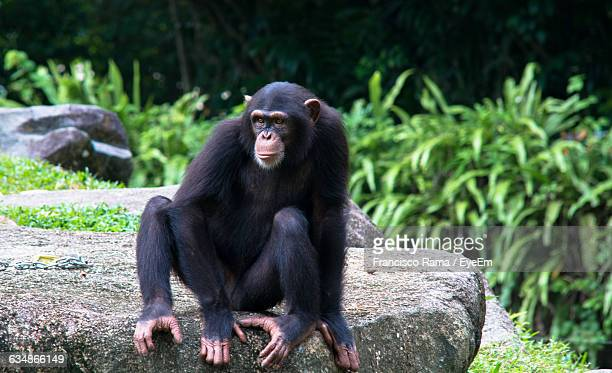 Chimpanzee Relaxing On Rock Formation