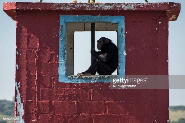 A chimpanzee remains at the Great Apes Project a sanctuary for apes in Sorocaba some 100km west of Sao Paulo Brazil on July 28 2017 / AFP PHOTO /...