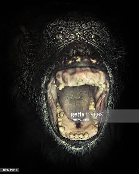 chimpanzee screaming - chimpanzee teeth stock pictures, royalty-free photos & images