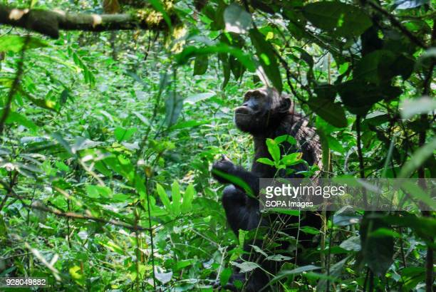 A chimpanzee seen in Kibale National Park The national parks in Uganda is being managed by the Uganda wildlife authority which also regulate wildlife...