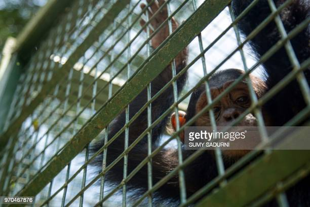 A chimpanzee sits inside a cage during a rehabilitation period folowing its rescue on June 9 2018 at the Uganda Wildlife Education Centre in Entebbe...