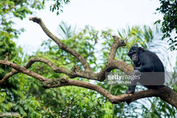 A chimpanzee sits on a tree at a chimp rescue center on June 9 2018 in Entebbe Uganda