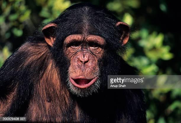 Chimpanzee (Pan troglodytes) sitting amongst greenery, Kenya, close-up