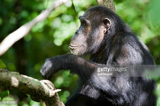 チンパンジーラウンジで、木、野生生物の写真、Gombe /タンザニア
