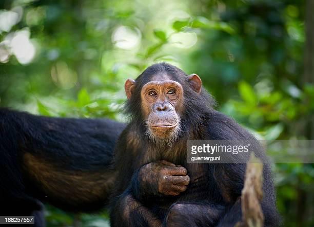 chimpanzee sitting in a tree, wildlife shot, gombe/tanzania - chimpanzee stock pictures, royalty-free photos & images