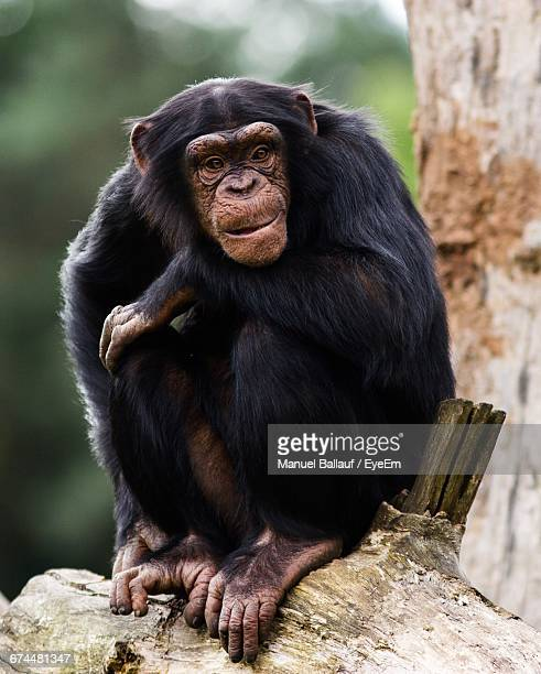 Chimpanzee Sitting On Branch At Forest