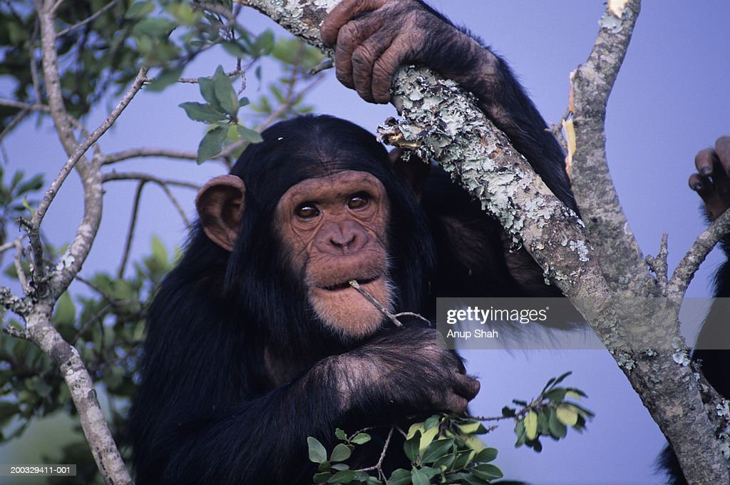 Chimpanzee (Pan troglodytes) sitting on tree, holding twig in mouth, Kenya, close-up : Stock Photo
