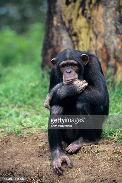 Chimpanzee (Pan troglodytes) sitting with arms crossed