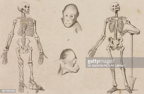 1 Chimpanzee Skeleton 2 Human Skeleton 3 Orangutan heads Chavannes engraving from Oceanie ou Cinquieme partie du Monde Revue Geographique et...