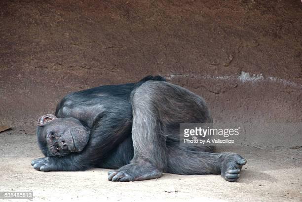 Chimpanzee sleeping on the floor