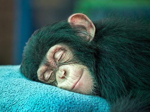 Chimpanzee  sleeping. 1008719688