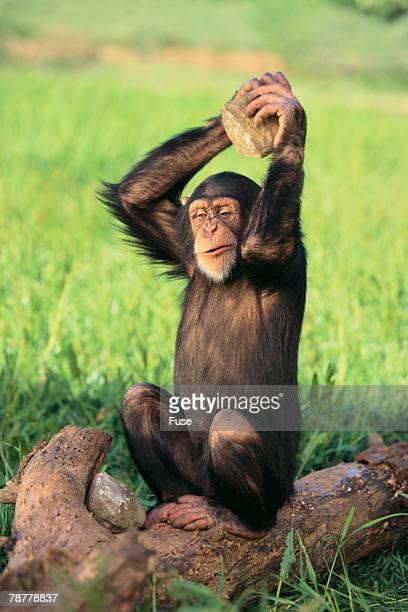 Chimpanzee Smashing Rocks