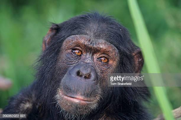 chimpanzee (pan troglodytes) snarling, headshot, (close-up) - great ape stock pictures, royalty-free photos & images