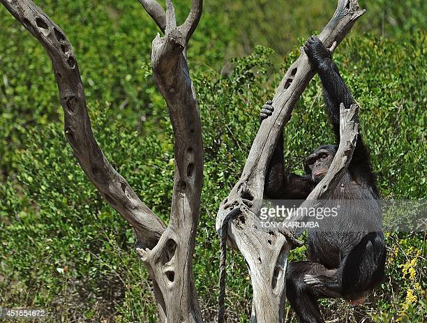 A chimpanzee swings in it's enclosure at the OlPejeta conservancy in Laikipia county on July 1 2014 at a centre for rescued primates from illegal...