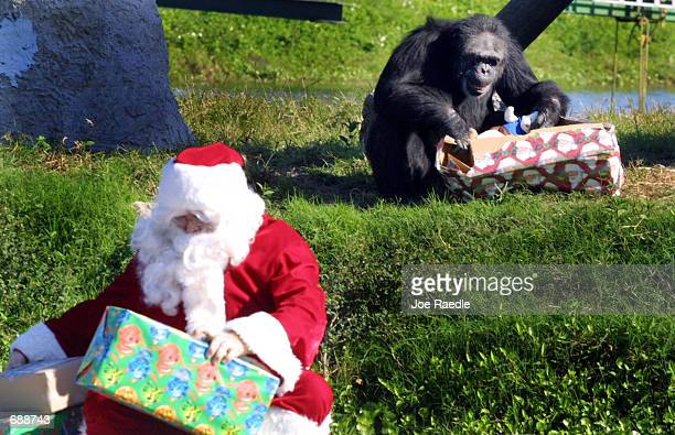 A chimpanzee unwraps a Christmas present December 21 2001 as Ernie Cowan dressed as Santa Claus delivers more gifts at the Lion Country Safari in...