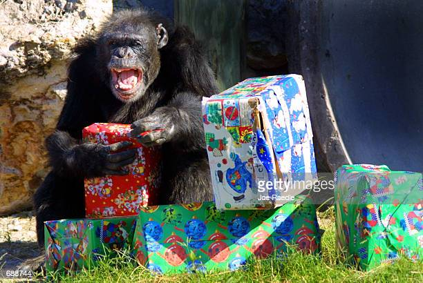 A chimpanzee unwraps a present that was delivered by Santa Claus December 21 2001 as Ernie Cowan dressed as Santa Claus delivers more gifts at the...