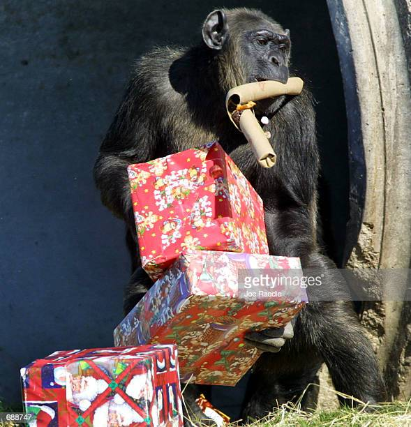A chimpanzee unwraps Christmas presents that were delivered by Santa Claus December 21 2001 at the Lion Country Safari in West Palm Beach Florida The...