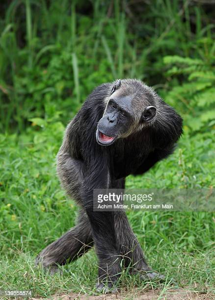Chimpanzee walking through green grass