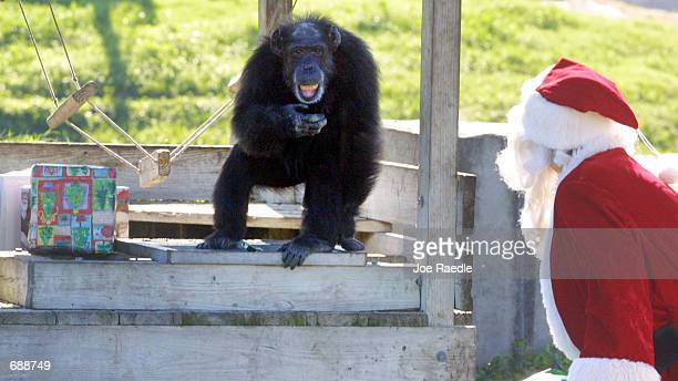 A chimpanzee watches Santa Claus deliver presents December 21 2001 at the Lion Country Safari in West Palm Beach Florida The annual event of giving...