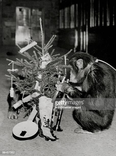 Chimpanzee with Christmas tree. Photography, around 1930. [Schimpanse macht sich an den Geschenken eines geschmueckten Weihnachtsbaums zu schaffen....