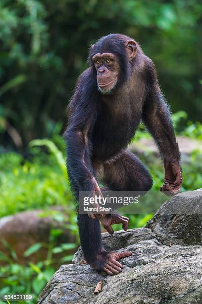 Chimpanzee youngster standing on two legs