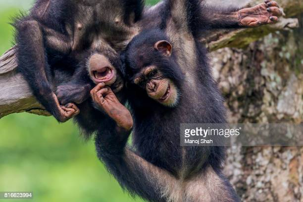 Chimpanzee youngsters playing