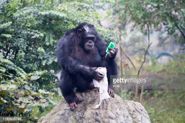 Chimpanzee Yu Hui uses brush and soap to wash a Tshirt at Locajoy theme park on December 4 2019 in Chongqing China