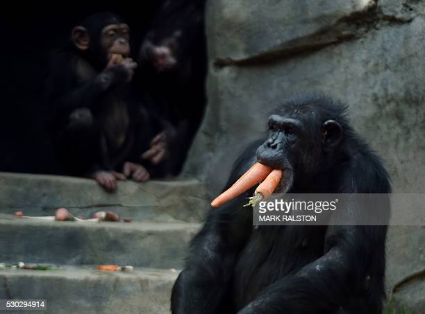 Chimpanzees are seen during feeding time at the Los Angeles Zoo in Los Angeles, California on May 10, 2016. Chimpanzees are native to sub-Saharan...