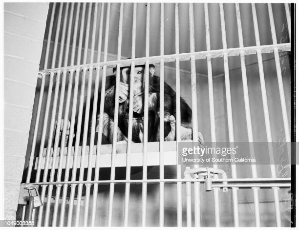 Chimpanzees at Griffith Park Zoo, 03 February 1952. 'Susie: New chimpanzee;'Dick' another chimpanzee;Charles Allen ;Mary Jo de los Reyes -- 10...