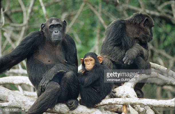 Chimpanzees Family ConkouatiDouli National Park In Congo