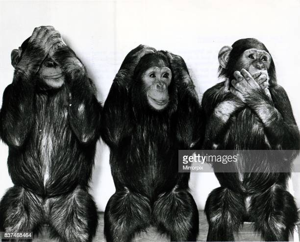 Chimpanzees from Twycross Zoo in Leicestershire pose for Daily Mirror photographer Arthur Sidey as the three wise monkeys who spoke heard and saw no...