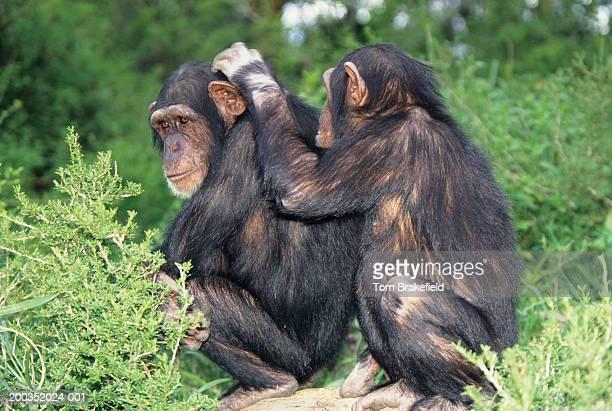 Chimpanzees (Pan troglodytes) grooming