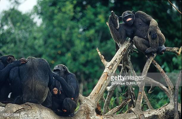 Chimpanzees Group ConkouatiDouli National Park In Congo