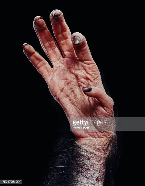 Chimpanzee's (Pan troglodytes) hand, close-up