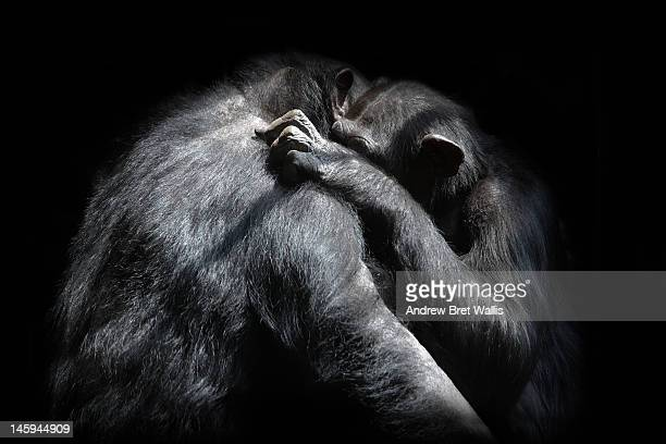 Chimpanzees hug one another