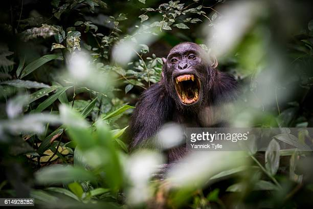 chimpanzees in kibale national park - chimpanzee teeth stock pictures, royalty-free photos & images