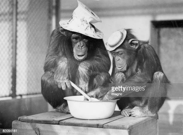 Chimpanzees of the London zoo with the cooking Photograph Around 1935 [Schimpansen des Londoner Zoos beim Kochen Photographie Um 1935]