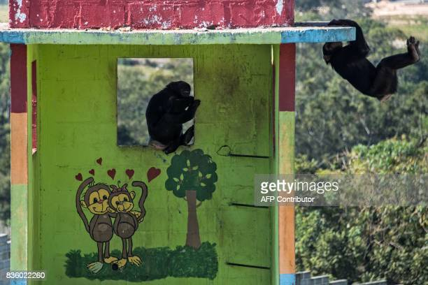 Chimpanzees play at the Great Apes Project a sanctuary for apes in Sorocaba some 100km west of Sao Paulo Brazil on July 28 2017 / AFP PHOTO / NELSON...