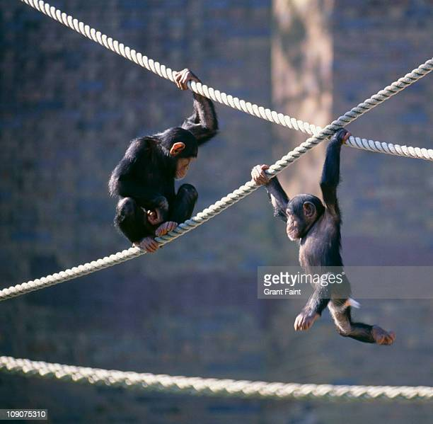 chimpanzees playing - zoo stock pictures, royalty-free photos & images