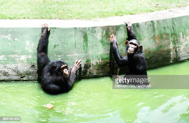 Chimpanzees sit inside a water pond to beat the heat at the Alipore Zoological Garden in Kolkata on June 7 2018