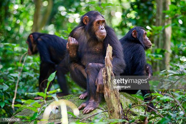 Chimpanzees sitting on a rock wildlife shot, Gombe/Tanzania