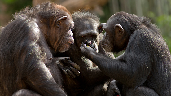chimpanzees talk it over in committee 519106121