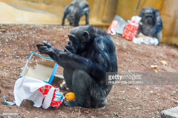 Chimpanzees unwrap their gift boxes filled with fruit and nuts they were given by their keepers in their enclosure at the zoo in Hanover northern...